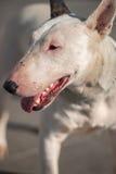 Bull terrier presentation Royalty Free Stock Photography