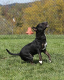 Bull terrier pronto a saltare al parco Fotografie Stock