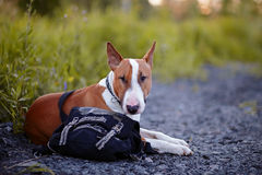 The bull terrier protects a bag. Royalty Free Stock Images