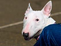 Bull terrier prtrait Stock Fotografie