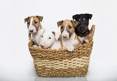 Bull Terrier puppies in a basket Royalty Free Stock Images