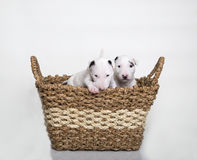 Bull Terrier puppies in a basket Royalty Free Stock Image