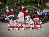 Bull Terrier puppies at Christmas inside their presents Stock Photo