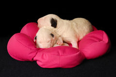 Bull Terrier puppies, 10 days old, lying in side over black background Royalty Free Stock Photography