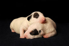 Bull Terrier puppies, 10 days old, lying in side over black background Royalty Free Stock Image