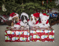 Bull Terrier puppies in funny Santa hats Royalty Free Stock Photos