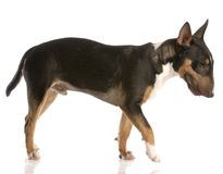 Bull terrier puppy Stock Images