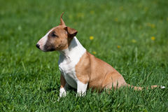Bull terrier puppy Royalty Free Stock Images