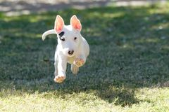 Bull terrier puppy airborne running through the grass. A bull terrier puppy is airborne while running in the grass royalty free stock image