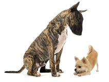 Bull terrier and puppy chihuahua. In front of white background Royalty Free Stock Photo