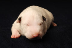 Bull Terrier puppy, 10 days old, lying over black background Stock Images
