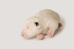 Bull Terrier puppy, 10 days old, lying over white background Stock Images