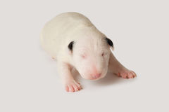 Bull Terrier puppy, 10 days old, lying over white background Royalty Free Stock Photos