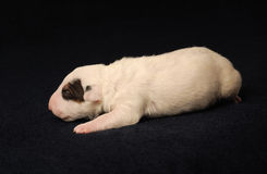 Bull Terrier puppy, 10 days old, lying in side over black background Royalty Free Stock Photo