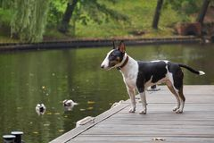 Bull terrier puppy dog on a wooden pier at a lake, copy space, detail with selected focus and narrow depth of field Stock Photos