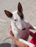 Bull Terrier puppy getting a hug Royalty Free Stock Images