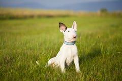 Bull terrier-puppy het spelen in het gras Royalty-vrije Stock Foto's