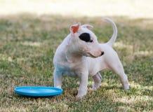 Bull terrier-puppy op het gras met een schijf Royalty-vrije Stock Afbeelding