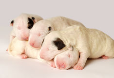 Bull terrier-puppy, 10 oude dagen die, in kant over witte achtergrond liggen Royalty-vrije Stock Foto's