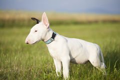 Bull terrier puppy playing in the grass Royalty Free Stock Photography