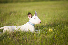 Bull terrier puppy playing in the grass Stock Photo