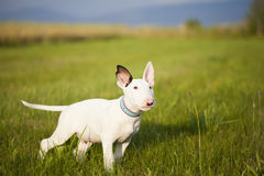 Bull terrier puppy playing in the grass Royalty Free Stock Images