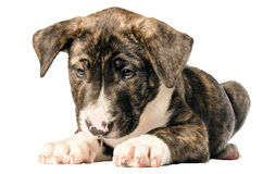 Bull terrier puppy. On white background Stock Image