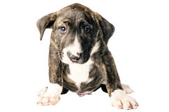 Bull terrier puppy. On white background Royalty Free Stock Photos