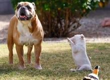 Bull terrier-puppyzitting die omhoog proberen te spelen Stock Afbeeldingen