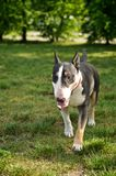 Bull terrier que camina en la hierba Fotografía de archivo libre de regalías