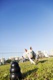 Bull terrier que corre para o brinquedo da mastigação no parque imagem de stock