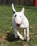 Bull terrier que corre a través del parque Foto de archivo libre de regalías