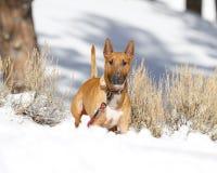 Bull terrier que presenta en la nieve Fotos de archivo