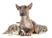 Bull terrier and rabbit Royalty Free Stock Image
