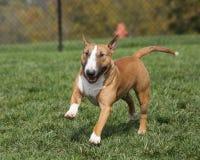 Bull terrier rojo que corre a través del parque Fotos de archivo