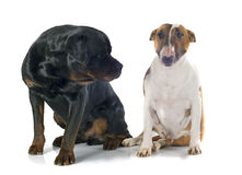 Bull terrier and rottweiler Stock Photo