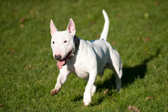 Bull terrier running Stock Photos