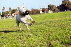 Bull Terrier Running in the Park with Toy Stock Images