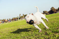 Bull Terrier Running in the Park with Toy Stock Photos