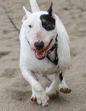 Bull terrier running through the sand Royalty Free Stock Image