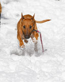 Bull Terrier running in the snow Royalty Free Stock Photography