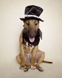 Bull Terrier sitting funny in his outfit Stock Images