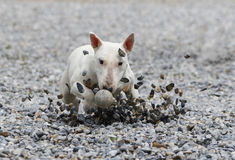 Bull terrier sliding in the rocks for the ball Royalty Free Stock Images