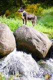 Bull terrier on a small waterfall Royalty Free Stock Photos
