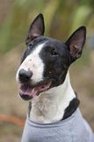 A Bull Terrier smiling Stock Image