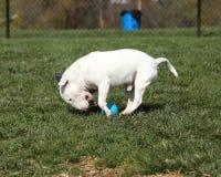 Bull terrier sobre el funcionamiento de una bola en el parque Imágenes de archivo libres de regalías
