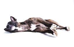 Bull terrier som ligger ner isolerat på vit arkivfoton