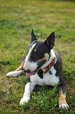 Bull terrier som ligger på gräset Royaltyfri Fotografi