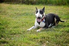 Bull terrier som ligger på gräset Arkivfoto