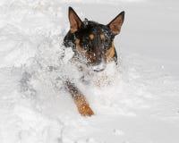 Bull Terrier spraying snow as he runs Stock Photo